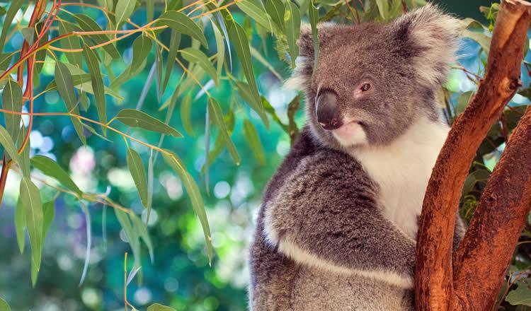 Koala in Brisbane Australia