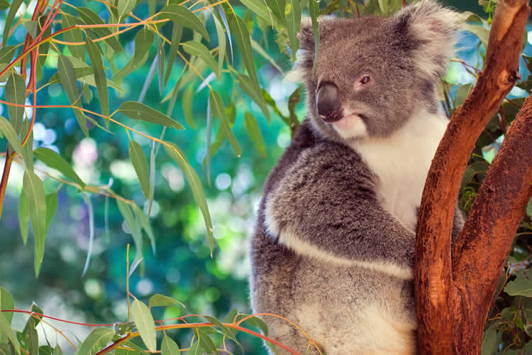 Koala in Brisbane Queensland