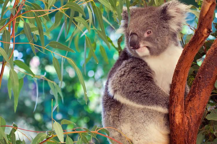 Koala in Brisbane Queensland