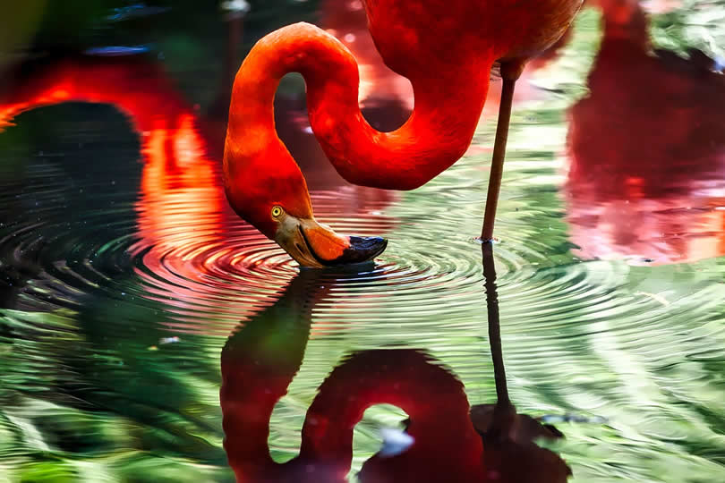 Flamingo in Miami Zoo